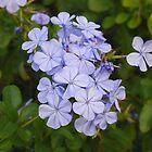 Still my favorite flower i believe by alamarmie