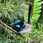 SUPERB FAIRY WREN   Marlo Vic. by helmutk