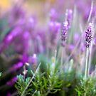 Lavenders by Kelvin  Wong