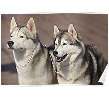 Siberian huskies Poster