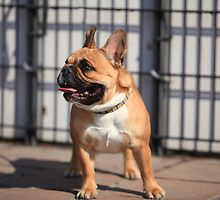 French Bulldog by mrivserg