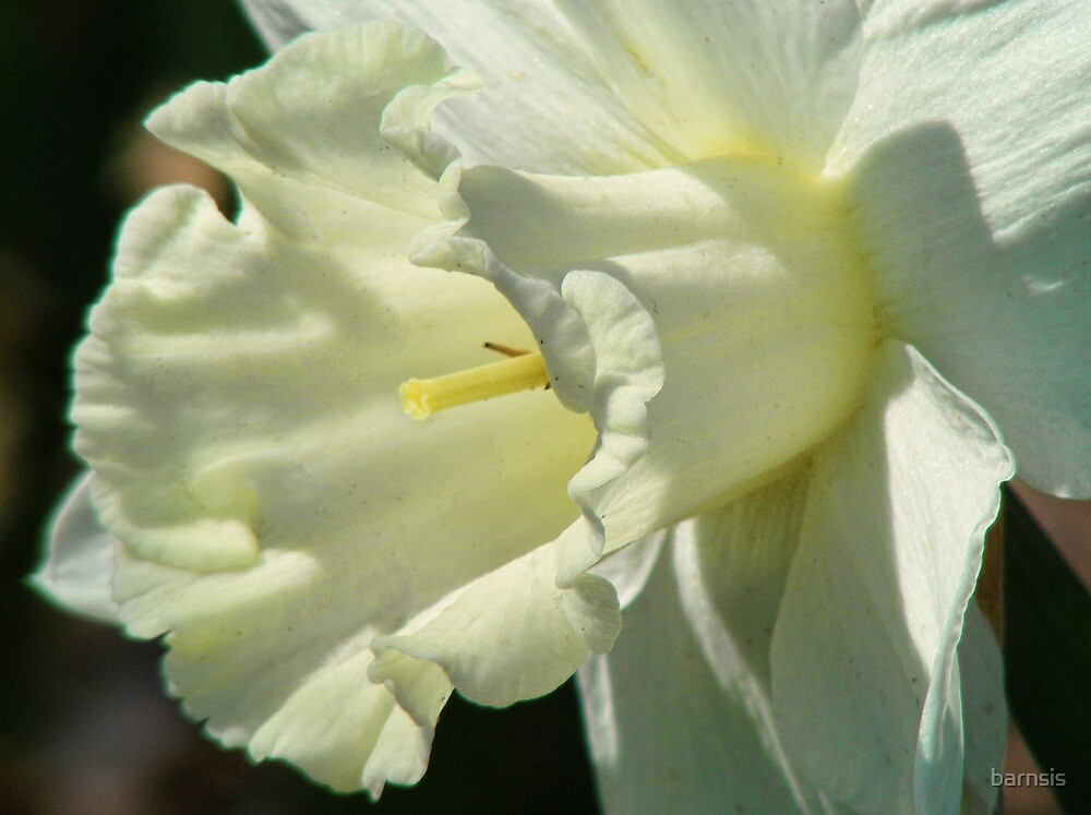 A White Daffodil by barnsis
