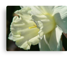 A White Daffodil Canvas Print