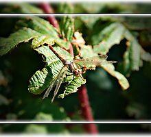 Dragonfly b by Skabou