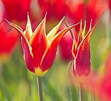 Festive Tulip by Lindie Allen