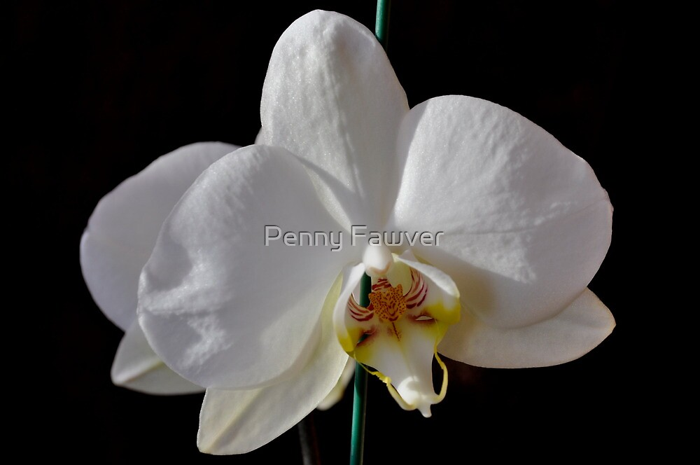 Orchid by Penny Rinker