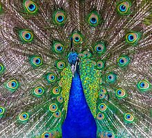 Beautiful Peacock by alalchan