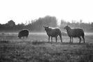 Sheep in Mist by Nigel Bangert