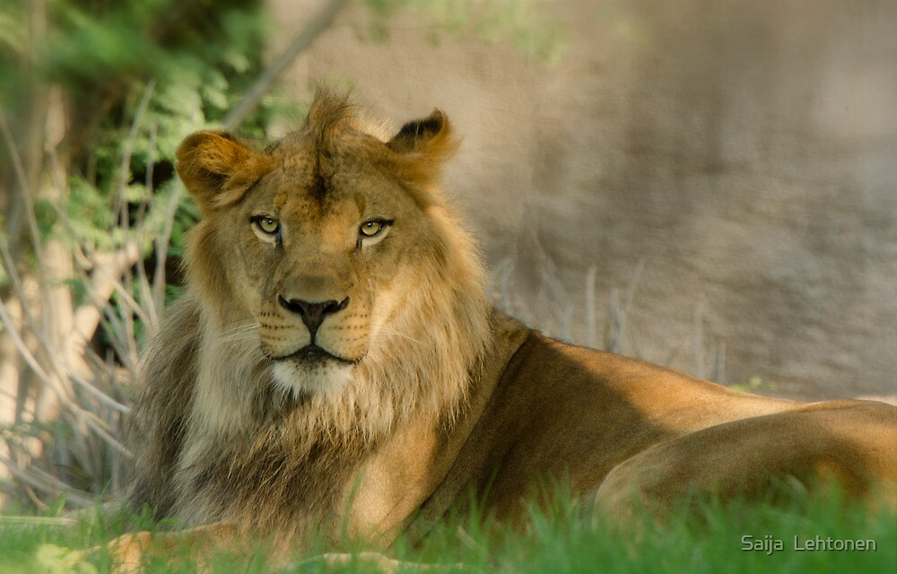 The King of the Jungle  by Saija  Lehtonen