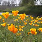 Feels so good being a California Poppy! by artinmyeyes
