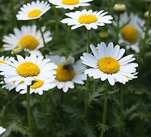 Daisies at Floriade by sezza-imagery