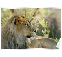 The African Lion  Poster