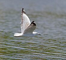 Skimming Gull by Steve Randall