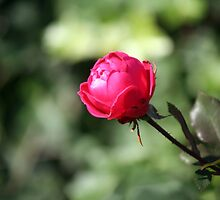 November Rose by WalnutHill