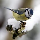 blue tit in the snow by Franc Wiedenhoff