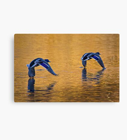Mallard Ducks Skimming Across Autumn Lake 2 Canvas Print