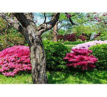 Spring Azaleas Photographic Print
