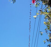 Pigeons On A Wire - 08 12 12 by Robert Phillips