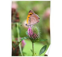 Small Copper on Red Clover - Lycaena phlaeas Poster