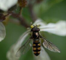 Native Bee Sticker