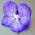 Blue vanda on silver background by bubblehex08