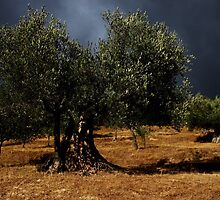 Olive Trees of Val di Chiascio by Alessandro Pinto