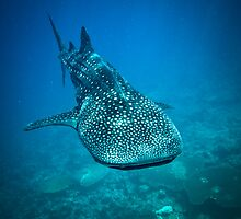 Whale Shark by thejourneysofar