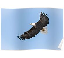 American Bald Eagle 2015-26 Poster