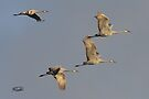 Cranes in Flight by Todd Weeks
