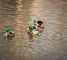 Mallard Ducks by Thomas Young