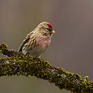 Wet Redpoll by Bill McMullen
