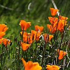 California poppies by Greta van der Rol