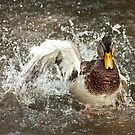 Mallard Splash by Skye Hohmann