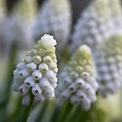 White Muscari by Karen Havenaar