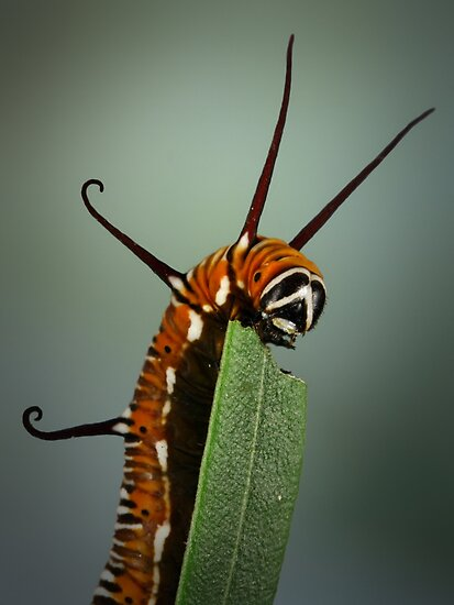 Euploea core caterpillar by jimmy hoffman