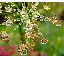 Rain drops on a Fennel seed head Photographic Print