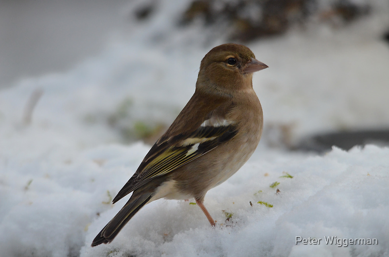 Female Chaffinch in the snow by Peter Wiggerman