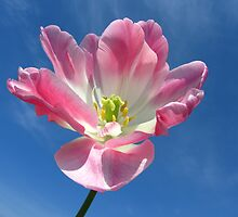 Angelique tulip by flips99