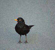 common blackbird by Jicha