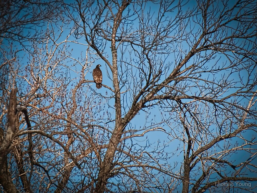 Young Bald Eagle by Thomas Young