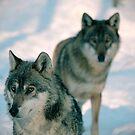 Wolves by stevenajbeijer