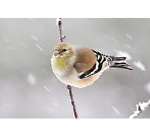 Goldfinch in the Snow Photographic Print