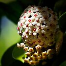 Hoya Flower by Ali Brown