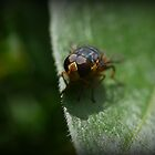 An Aussie Fly in Macro (2) by Larry Lingard-Davis