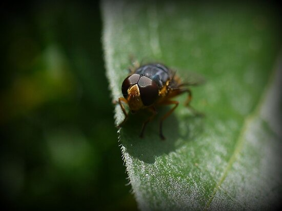 An Aussie Fly in Macro (2) by cullodenmist