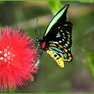Butterfly Lunch by Susan Kelly