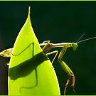 Mantis in the light, Mission Beach by Susan Kelly