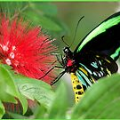 Cairns Birdwing Butterfly, Lunch at Mission Beach by Susan Kelly