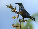 Tui and flowering Flax............! by Roy  Massicks
