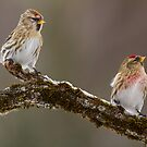 Two Redpolls by Bill McMullen